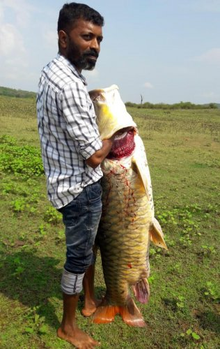 The huge Mahseer fish caught in the backwaters of Harangi. DH Photo