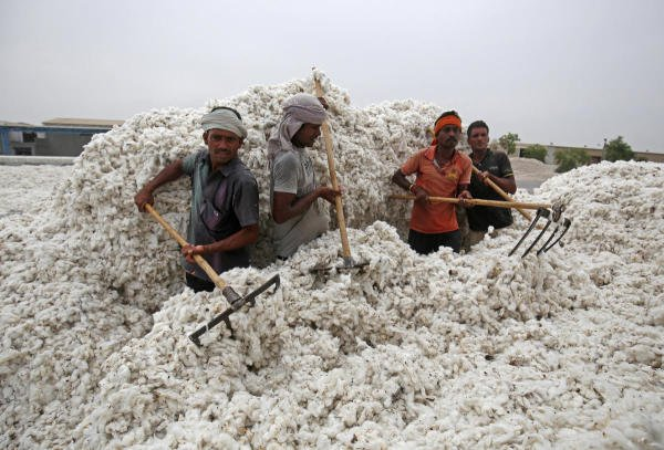 Employees unload cotton from a truck at a cotton processing unit in Kadi town, in the western Indian state of Gujarat. (Reuters photo)