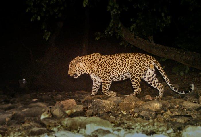 A leopard caught in the camera. (Photo: Facebook/@SanjayGandhiNationalPark)