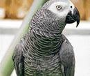 Row over Italian-speaking parrot