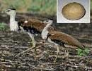 Hopes of reviving Great Indian Bustard dashed