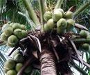 Karnataka to set up pilot plant to produce coconut juice