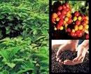 Culturing coffee, the Vietnam way