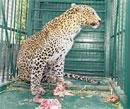 Leopards' spot changed to suit whims of netas