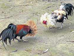 TN roosters to fight in DK, Udupi