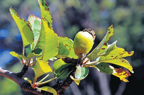 Apple trees in Lalbagh bear fruit after four decades