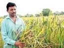Organic farmer reclaims traditional paddy strains