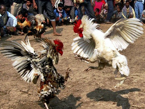 SC orders status quo on cock fights in Andhra