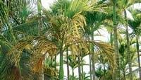 New disease affects areca in Tarikere