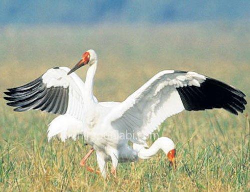 Siberian cranes skip India