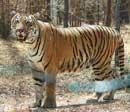 Tiger with travelling itch finds home from home
