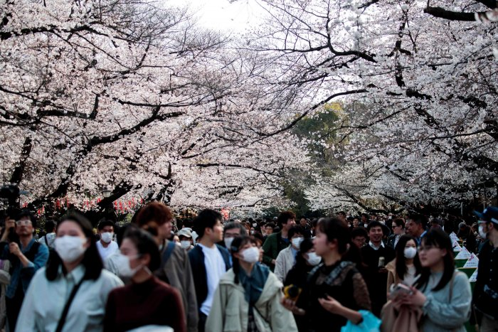People wearing face masks, amid concerns of the COVID-19 coronavirus, walk under the cherry blossoms at Ueno park in Tokyo. (AFP Photo)