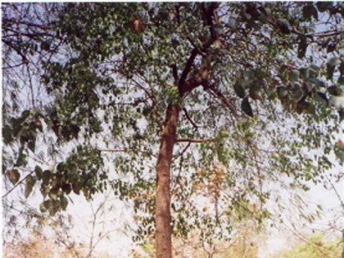 Boom in sandalwood farming leads to shortage of saplings