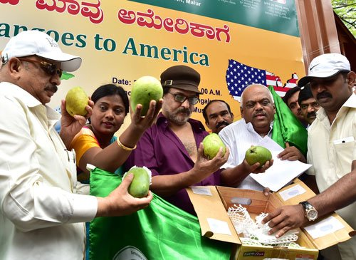 State to export 1,200 tonnes of mangoes to US