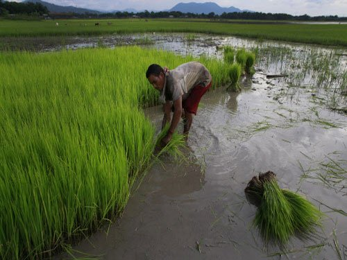 Rice crops that can help farmers save money, cut pollution