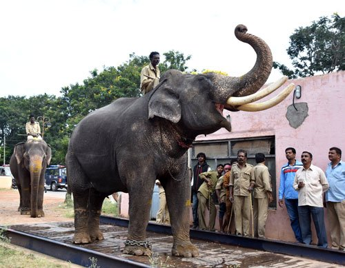 Dasara jumbos weighed, Arjuna heaviest at 5,615 kg
