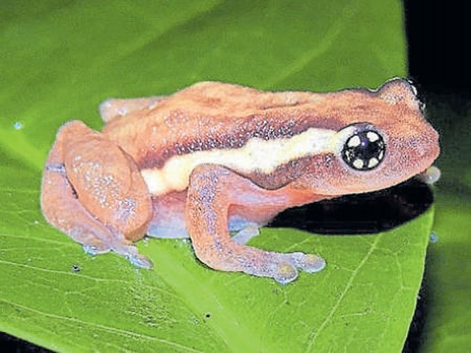 Taking a leap forward to save frogs