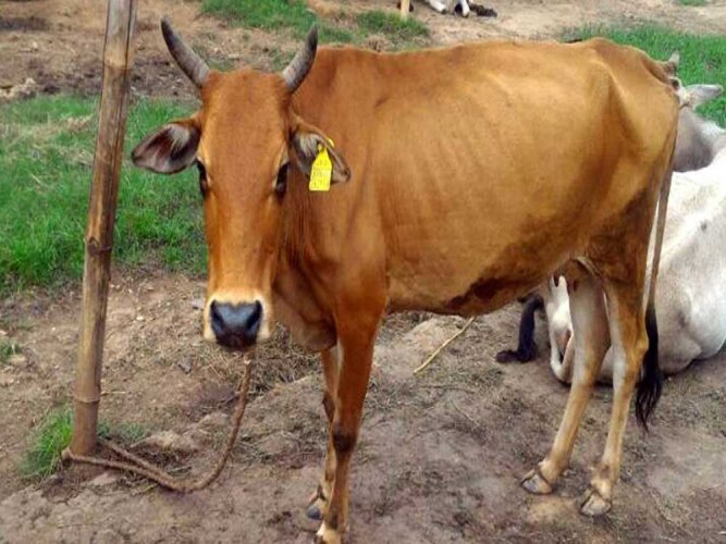 Man thrashed for carrying beef