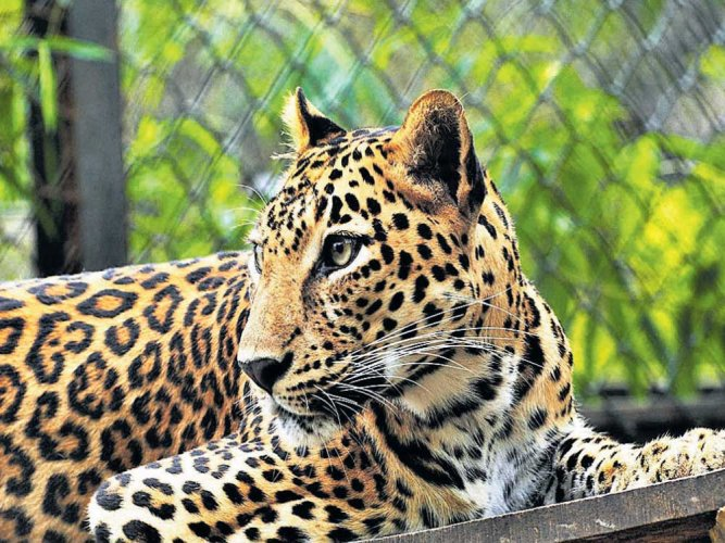 Ways to reduce human-leopard conflicts