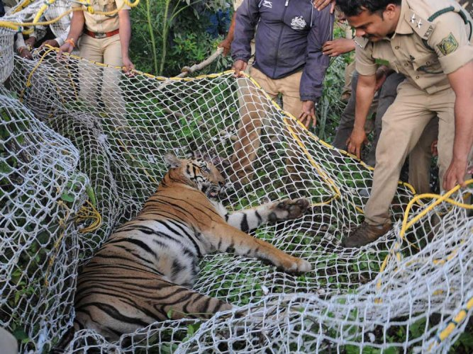Another tiger captured in HD Kote