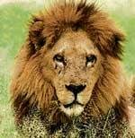 411 lions in Gir forests, population up by 52