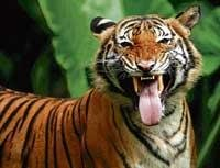 Translocated tigress gives birth to three cubs in Panna reserve