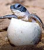 Olive Ridley Turtles visit Orissa beach twice this year