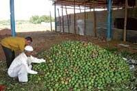 Maiden batch of mangoes arrive at Srinivaspur market