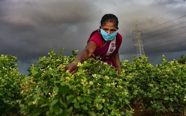A farmer wearing a face mask plucks jasmine flowers at a farm during a government-imposed nationwide lockdown as a preventive measure against the coronavirus, near Acharapakkam in Chengalpattu district, Sunday, April 26, 2020. (PTI Photo/R Senthil Kumar)