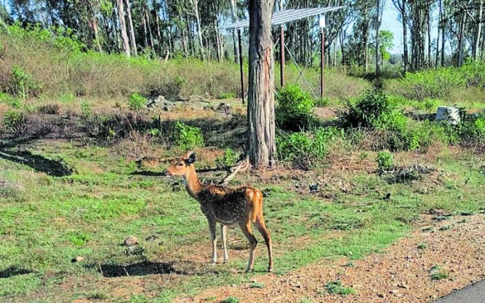 A speeding vehicle mowed down a spotted deer calf inside the Bandipur Tiger Reserve on Wednesday. (Photo by Special Arrangement)
