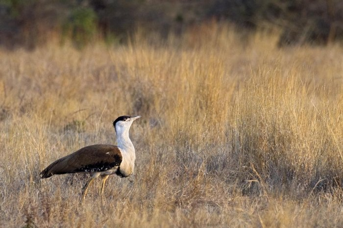 Great Indian Bustard (File Photo)