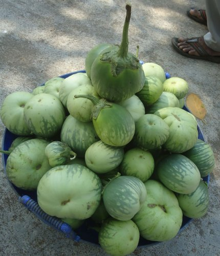 While it is mainly consumed in the districts of Udupi and Dakshina Kannada, 'Mattu Gulla' is also preferred in other places because of its unique flavour and taste. Photo by Authot