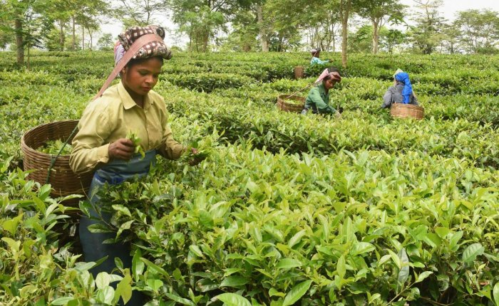 Workers pluck tea leaves at a tea-estate in Dibrugarh district of Assam. PTI file photo