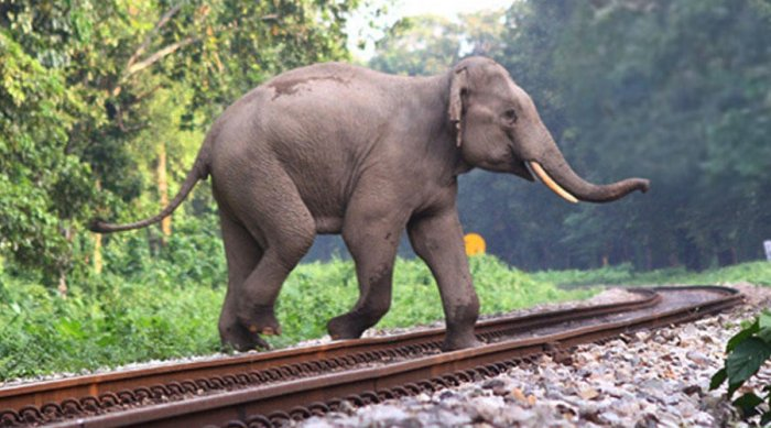 A wild elephant crossing a railway track in Assam recently. (photo credit: Northeast Frontier Railways)