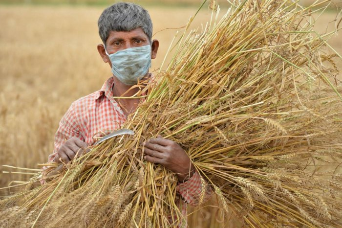 A farmer holds harvested crops as he poses for the photographer during the nationwide lockdown in the wake of coronavirus pandemic, on the outskirts of Chandigarh, Wednesday, April 22, 2020. (PTI Photo)