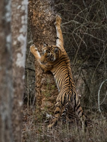 Genetic studies: Scientists use molecular techniques to get deeper insights into the lives of tigers. Photo Credit Pruthvi B
