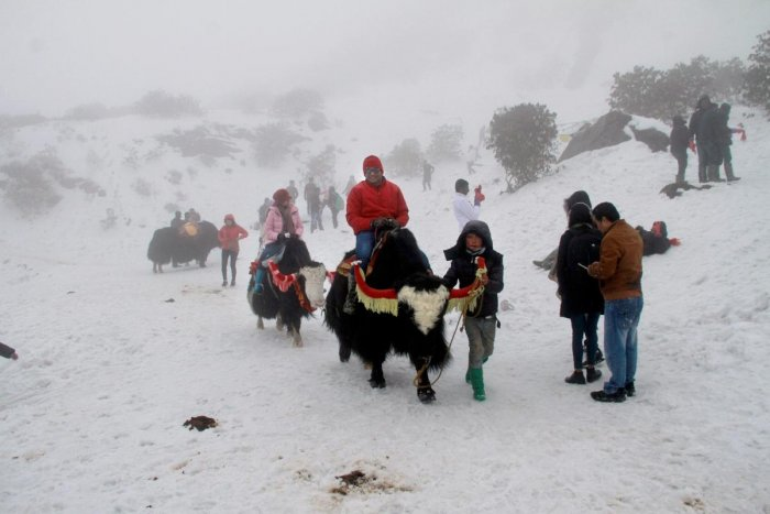Tourists enjoy yak ride on a snow covered hill after fresh snowfall at Changu Lake some 40 kilometres from Gangtok, in Sikkim on Thursday. (PTI Photo)
