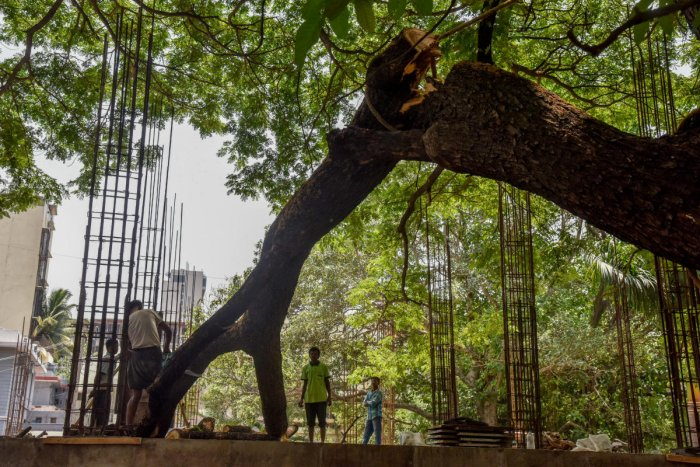 A Tree branches are cutting by BBMP Workers for constructing Indoor Jym stadium at Nehru Park, Sheshadripuram Circle in Bengaluru on Friday. Step by step half of the tree is cutting for construction. Photo by S K Dinesh
