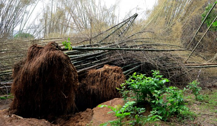 Bamboo trees uprooted following heavy showers on Sunday. DH PHOTO
