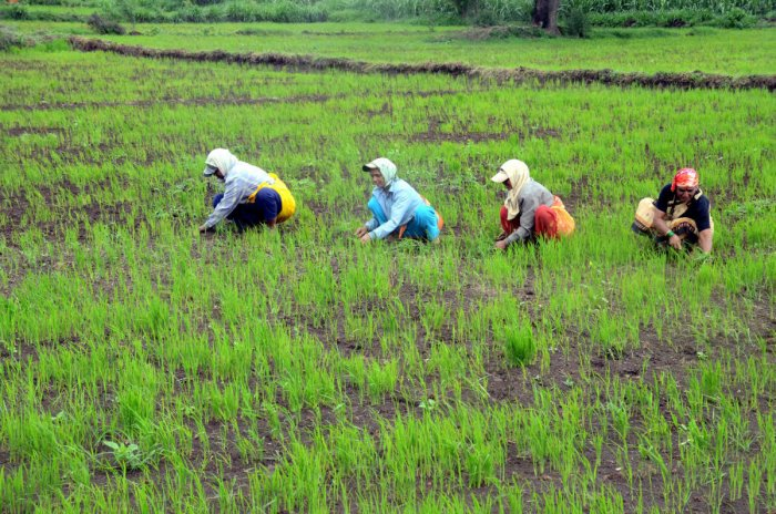 Sowing picked up early in most parts of the state this year, thanks to the copious rainfall. dh file photo