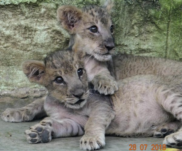 The lion cubs successfully hand-reared by doctors and staff at the zoo hospital at the Bannerghatta Biological Park in Bengaluru.