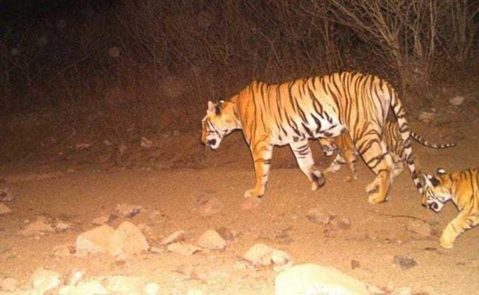 Tigress Avni with her two cubs. file photo