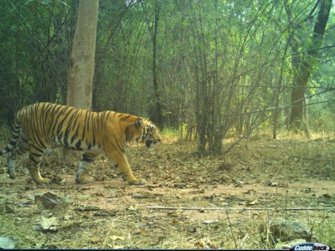 A male tiger which was photographed by a camera trap in Kawal Tiger Reserve recently.