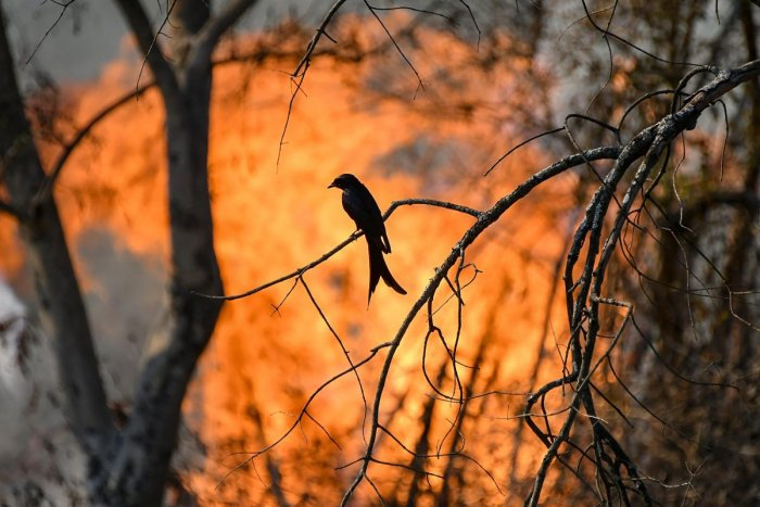 Silhouette of a bird seen against flames of a forest fire at Bandipur Tiger Reserve, in Bandipur on Feb 23, 2019. PTI