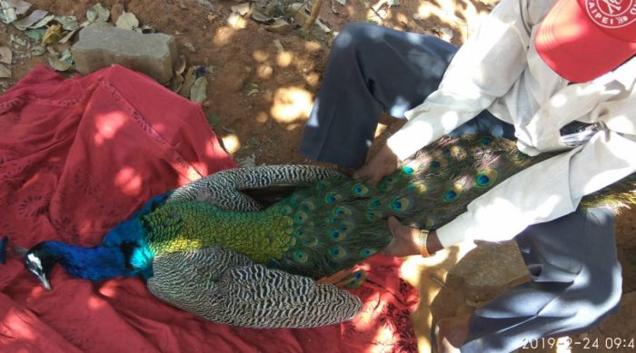 The peacock that was attacked by a dog on the Bangalore University campus on Sunday.