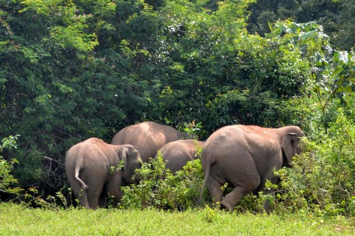A herd of elephants at a forest in Hassan district. (DH File Photo)