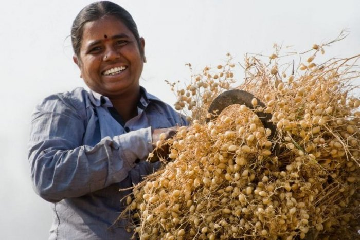 File photo of chickpea from ICRISAT