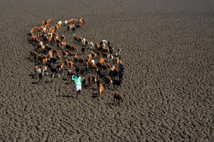 A shepherd leads a flock of sheep as they set out in search of water on the bed of the Hirehalla reservoir near Kinnal in Koppal taluk. DH Photo/Bharath Kandakur