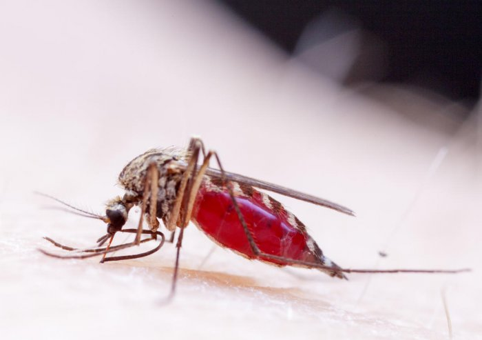 The World Health Organization says it's theoretically possible to wipe out malaria, but probably not with the flawed vaccine and other control methods being used at the moment. (File Photo)