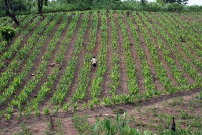 EXPANSIVE Lakadong turmeric farm.